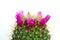 Stock Image : Flowering cactus