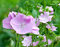 Stock Image : Flowering pink mallows