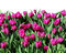 Stock Image : Flowering tulips