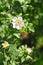 Stock Image : Flowers of dog rose