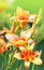 Stock Image : Flowers orange lilies