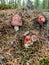 Stock Image : Fly agaric muushrooms
