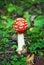 Stock Image : Fly Agaric red mushroom