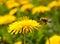 Stock Image : Flying bee