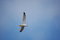Stock Image : Flying Seagull