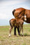 Stock Image : Foal and Mare Horses