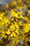 Stock Image : Forsythia