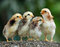 Stock Image : Four of cute chicks