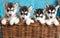 Stock Image : Four puppies Husky