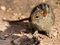 Stock Image : Four Striped Field Mouse in sandy area.