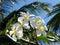 Stock Image : Frangipani or Plumeria Flowers
