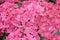 French hydrangea Hydrangea macrophylla