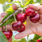 Stock Image : Fresh cherries