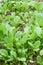 Stock Image : Fresh kale in vegetable plot
