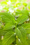 Stock Image : Fresh mint