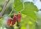 Stock Image : Fresh mulberry