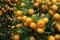 Stock Image : fresh orange