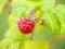 Stock Image : Fresh red raspberry