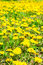 Stock Image : Fresh spring background of field yellow dandelions flower, close