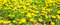 Stock Image : Fresh spring background of field yellow dandelions flower