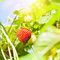 Stock Image : Fresh strawberry plant