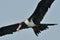 Stock Image : Frigate bird capture a fish