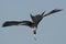 Stock Image : Frigate bird fishing