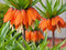 Stock Image : Fritillaries - Crown imperial
