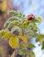 Stock Image : Frosty flower briar
