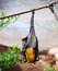 Stock Image : Fruit Bat