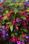 Stock Image : Fuchsia and lobelia