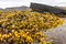 Stock Image : Fucus (rockweed) at Rybachy Peninsula