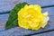 Stock Image : Garden Begonia flower