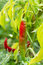 Stock Image : Garden chilies