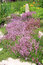Stock Image : The garden composition. Breckland thyme.