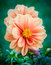 Stock Image : Garden Dahlia