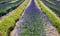 Stock Image :  Gebied van lavendel
