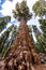 Stock Image : General Sherman tree in Giant sequoia forest