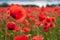 Stock Image : Gentle poppy flower with popply flower bud