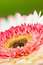 Stock Image : Gerbera flower
