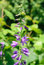 Stock Image : Giant bellflower (Campanula latifolia)