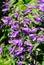 Stock Image : Giant bellflower (Campanula latifolia)