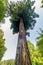 Stock Image : Giant Sequoia Tree