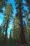 Stock Image : Giant Sequoia trees, or Sierra Redwood