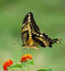 Stock Image : Giant swallowtail butterfly on Lantana with copy space