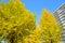 Stock Image : Ginkgo tree-lined at Hikarigaoka park in Tokyo