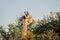 Stock Image : Giraffe eating