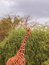 Stock Image : Giraffe