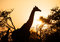 Stock Image : Giraffe at sunrise