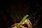Stock Image : Phelsuma Laticauda laticauda